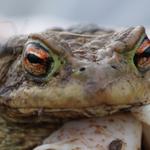 Erdkröte (Bild: Antje Trapp-Frank)