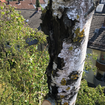 Zweistämmige Birke mit großen Faulstellen und Totholz