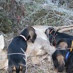 Pups on the roe deer