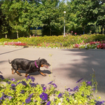 Мотя такса на прогулке в парке