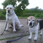Яффа и Молли на вечерней прогулке
