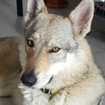 Inès - Ref 03050816 - Chien loup tchèque - F -Obéissance : Brevet - Rem : agility (licence), chien visiteur