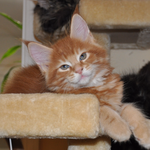 Clancy S Sweeney, red classic tabby, male