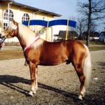 dreijährig bei der ARGE Körung 2004