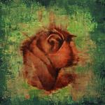 *Rose* 50/50