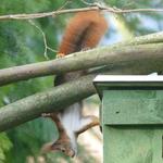 Eichhörnchen-Akrobatik