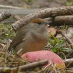 Mönchsgrasmücke, Weibchen