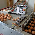 Laufband für den Transport der Eier in die Packstation