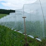 Netzt sorgen dafür, dass die eifrigen Hummeln den Blütenstaub der Bilbo sortenrein lassen