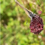 Dunkler Wiesenknopf-Ameisenbläuling auf dem Großen Wiesenknopf  (Guntersblum, im Juli 2020, Foto: J. Eidel