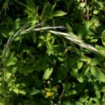 アオカモジグサ
