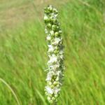 ナガボノシロワレモコウ白花