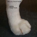 PATTE GOLDEN RETRIEVER APRES TOILETTAGE - BELLOU TOILETTAGE - TOULON VAR