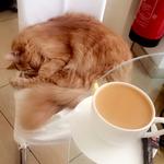 vienna_cat_coffee