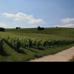 Weinberge Bodenheim - Rheinhessen
