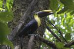 Hornbill | Corcovado | Costa Rica