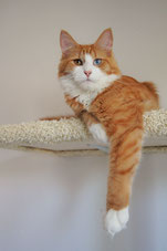 red tabby white