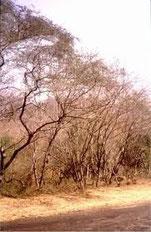 Bosque basal muy seco