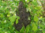 Bienen zu verkaufen, Harzer Gebirgsimkerei
