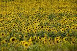 eine Wiese mit Sonnenblumen