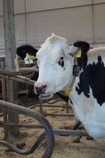 Kuh schaut aus dem Stall