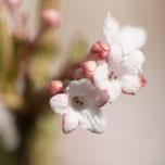 Blüten und Knospen vom Duft-Schneeball. Makroaufnahme. Siegfried Beiser Photography