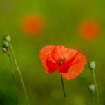 Mohnblüte. Makroaufnahme. Siegfried Beiser Photography