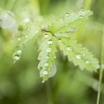 Ein Blatt mit Tropfen nach dem Regen. Makroaufnahme. Siegfried Beiser Photography