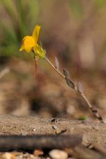 Linaria flava subsp sardoa - Aiacciu (20B) - Avril 2010