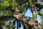 Leguan | Costa Rica