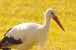 Stork | Nittenau | FRG