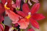 Hybride Orchideen zuhause