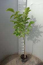 Walnussbaum kaufen
