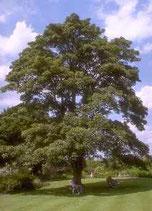 Eichenbaum kaufen