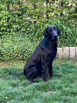 Flat Coated Retriever Züchter