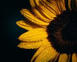 savon solide chacha huile tournesol agriculture biologique charente naturels ingredients miel charente maritime