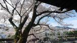 覆いかぶさるような桜