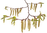 Bach Blüten Nr. 17 Hornbeam Hainbuche