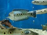 Channa pleurophthalma, Augenfleck-Schlangenkopffisch