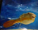 Tetraodon MBU, Goldringel-Kugelfisch, Süßwasserkugelfisch, Afrika, Kongo, Rarität