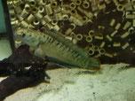 Channa gachua, Schlangenkopffisch