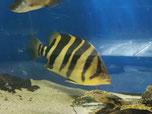 Datnioides Microlepis - Tigerbarsch, Asien