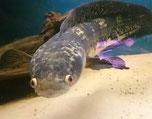 Channa marulioides, Schlangenkopffisch