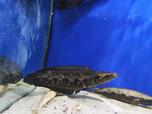 Channa lucius, lucia, Schlangenkopffisch