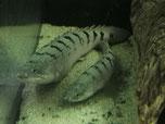 polypterus, delhezi, flösselhecht