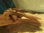L137, ( Panaque ) Cochliodon basilisko, Red Bruno Wels