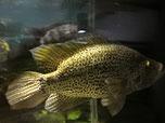 Parachromis, Cichlasoma managuensis GOLD, Managua Buntbarsche Raubbarsch