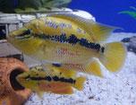 Cichlasoma salvini, Trichromis salvini, Salvins Buntbarsch