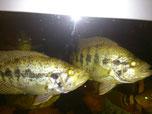 Managua Buntbarsche, Parachromis, Cichlasoma managuensis GOLD Paar, Raubbarsch, Buntbarsch