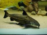 Oxydoras niger, Pseudodoras niger, Schwarzer Dornwels